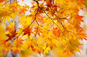 Bilder Herbst Blatt Ahorne Ast Natur