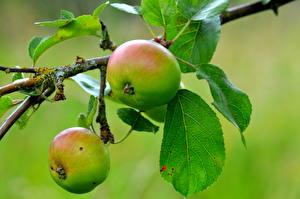Bilder Äpfel Ast Blattwerk Lebensmittel