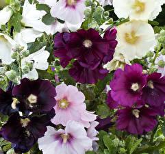 Fotos Malven Großansicht Blüte