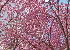 Hintergrundbilder Blühende Bäume Rosa Farbe Ast Blumen