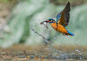 Bilder Vögel Eisvogel Spritzer