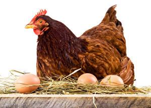 Fotos Vogel Haushuhn Ei