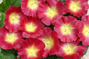 Fotos Malven Hautnah Blüte