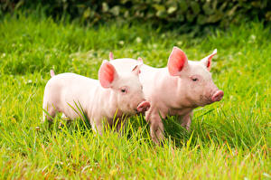 Picture Domestic pig Grass Two Animals