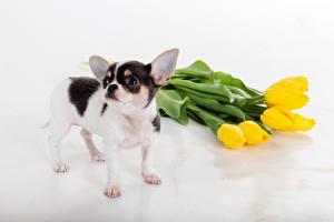 Photo Tulip Dogs Yellow Chihuahua Animals