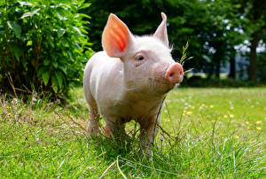 Pictures Domestic pig Grass