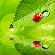 Pictures Ladybird Water Drops Foliage animal