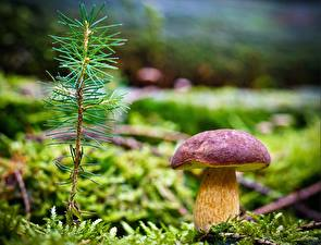 Pictures Mushrooms nature Closeup Moss Branches needles porcini Nature