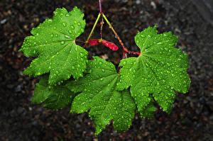 Images Closeup Leaf Maple Drops Green Nature