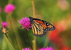 Fotos Schmetterling Hautnah Monarchfalter Tiere