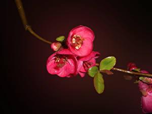 Hintergrundbilder Kirsche Blühende Bäume Ast Japanische Kirschblüte Blumen