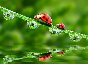 Images Ladybugs Drops Two Animals