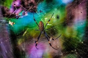 Bakgrunnsbilder Edderkopper Nærbilde Edderkoppsilke Dyr