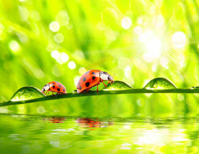 Wallpapers Lady beetle Closeup Water Drops Two Animals