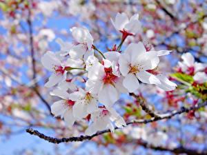 Fotos Blühende Bäume Großansicht Ast Weiß Japanische Kirschblüte Blumen