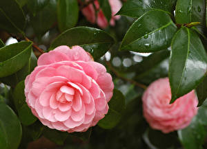 Fotos Großansicht Kamelien Rosa Farbe Blatt Blüte