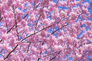 Fotos Blühende Bäume Japanische Kirschblüte Rosa Farbe Ast Blumen