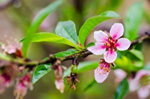 Bilder Großansicht Blühende Bäume Japanische Kirschblüte Ast Blattwerk Blumen