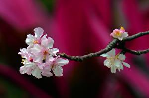 Bilder Großansicht Blühende Bäume Ast Japanische Kirschblüte Blumen
