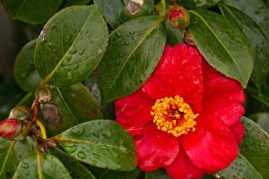 Hintergrundbilder Nahaufnahme Kamelien Rot Blatt Blumen