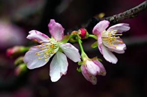 Fotos Großansicht Blühende Bäume Ast Japanische Kirschblüte Blumen