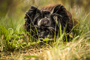 Fotos Hunde Chinese Crested Gras Schwarz