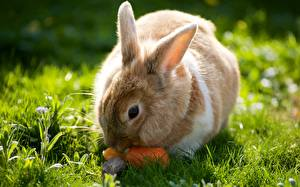 Wallpapers Rabbits Grass animal