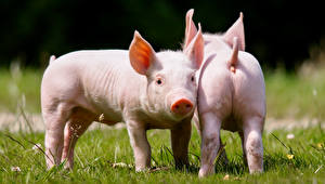 Pictures Domestic pig Two