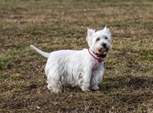 Hintergrundbilder West Highland White Terrier