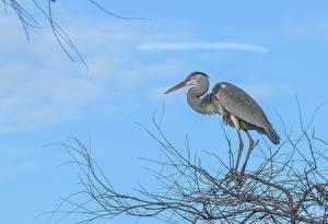 Fotos Reiher Vogel Ast Grey