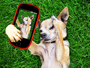 Pictures Dogs Chihuahua Smartphone Grass Selfie Animals