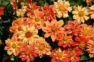 Hintergrundbilder Dahlien Nahaufnahme Blüte