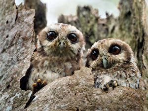 Wallpapers Bird Owls Two animal