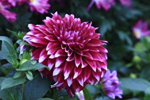 Hintergrundbilder Georginen Hautnah Blumen