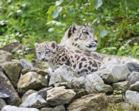 Bilder Jungtiere Irbis Steine Tiere