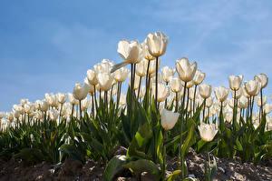 Fondos de escritorio Tulipa Campos Blanco Flores