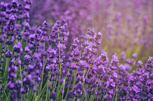 Hintergrundbilder Lavendel Nahaufnahme Blüte