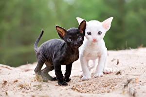 Image Cat Kittens 2 Cornish Rex Animals