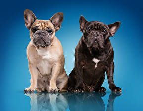 Photo Dogs Bulldog Two Colored background animal