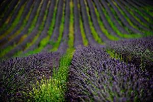 Hintergrundbilder Felder Lavendel Blumen