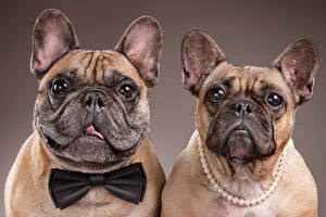 Pictures Dogs 2 Bulldog Snout Glance Bow knot Colored background Food