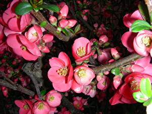 Bilder Großansicht Blühende Bäume Japanische Kirschblüte Ast Blumen
