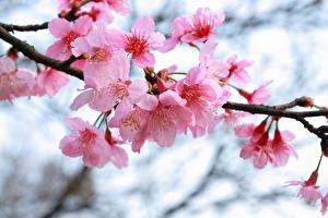 Bilder Blühende Bäume Japanische Kirschblüte Ast Rosa Farbe Blumen