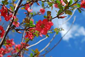 Bilder Blühende Bäume Japanische Kirschblüte Ast Blumen