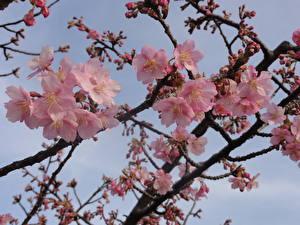Fotos Blühende Bäume Japanische Kirschblüte Ast Blumen