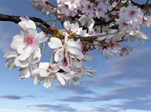 Fotos Blühende Bäume Japanische Kirschblüte Weiß Ast Blumen