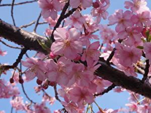 Fotos Blühende Bäume Japanische Kirschblüte Ast Rosa Farbe Blumen