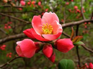 Fotos Blühende Bäume Großansicht Japanische Kirschblüte Ast Rot Blumen