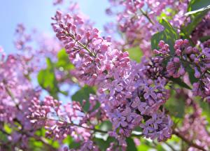 Hintergrundbilder Flieder Ast Rosa Farbe Blumen