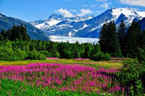 Picture USA Scenery Mountains Lupinus Alaska Trees Shrubs Nature